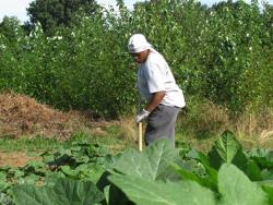 A CVC participant works a row of crops