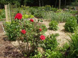 vegetable garden beds, red rose bush in the foreground