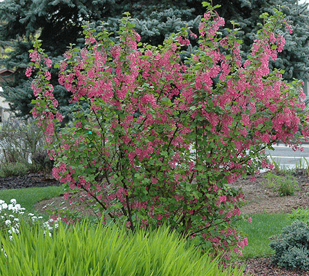 Flowering Red Currant